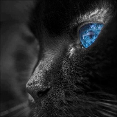 blue eye cat close up
