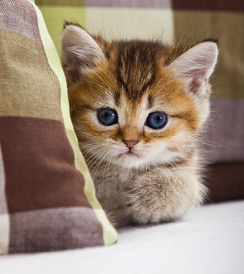 litte tartan kitten