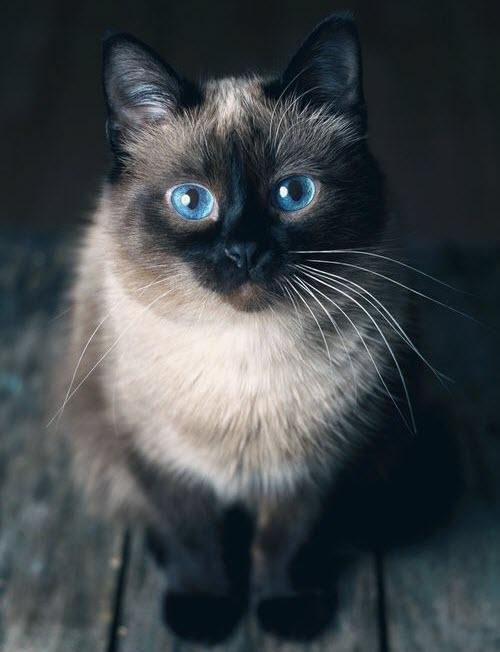 blue eye siameses