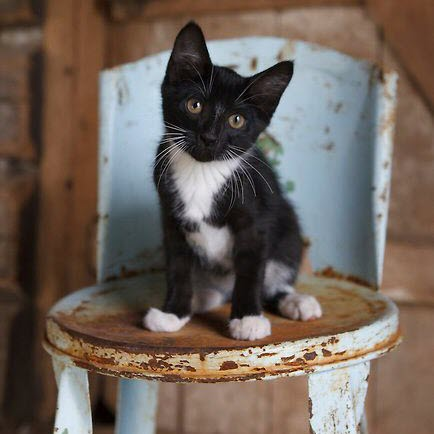 kitten on chair blue
