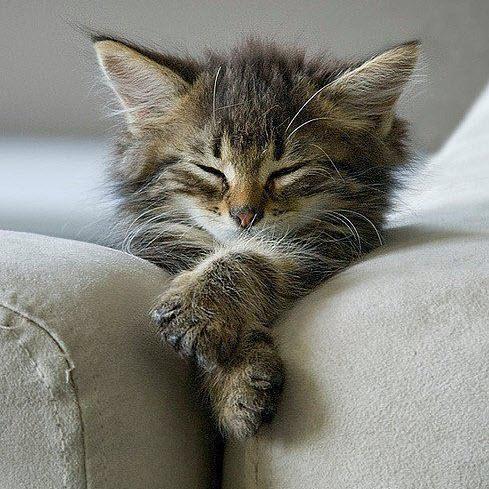 kitten sofa arm sleep