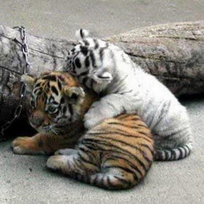 2 cubs