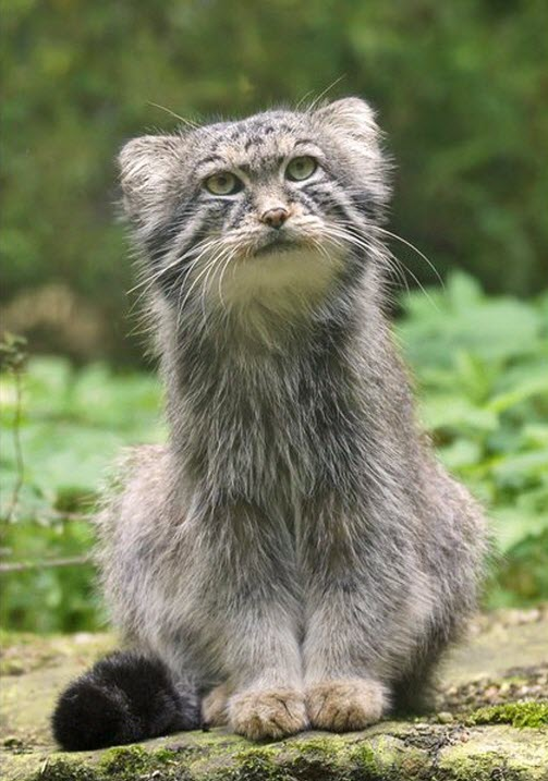 Manul, a cat from central Asia