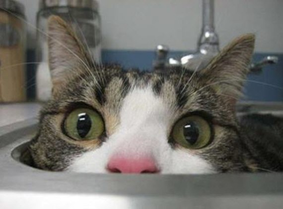 cat in sink close