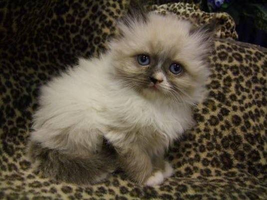 cute kitten on leopard skin