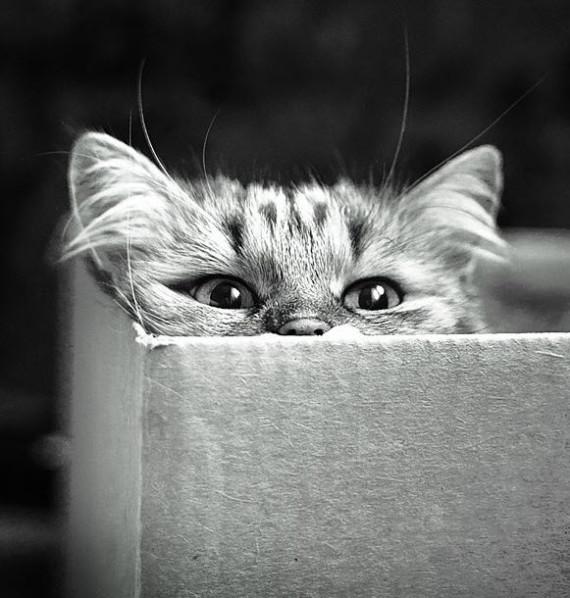 cat in box bw