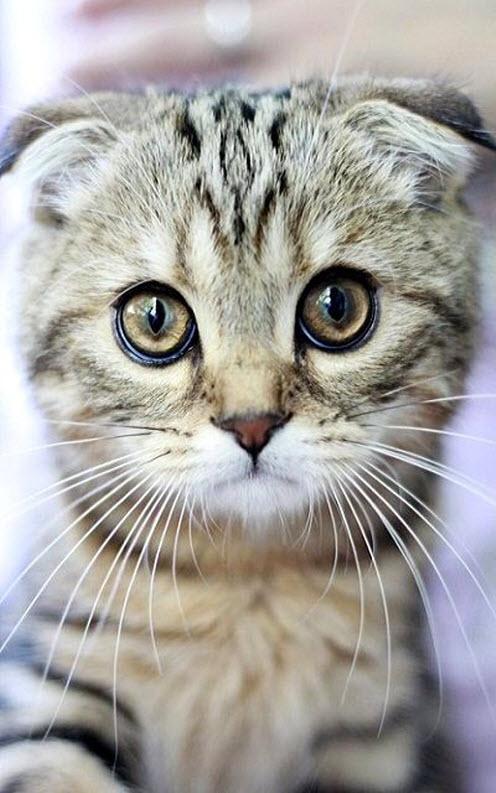 scottish fold cute