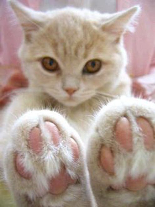 big paws kitty