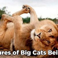 15 Awesome Pictures of Big Cats Being Cute