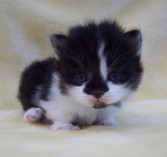 munchkin kitten 1