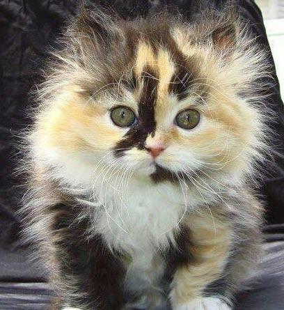 calico kitten 1