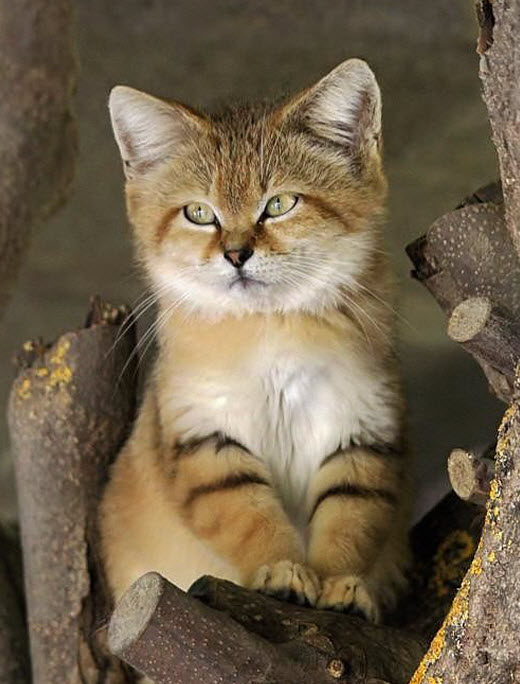 deserrt sand cat
