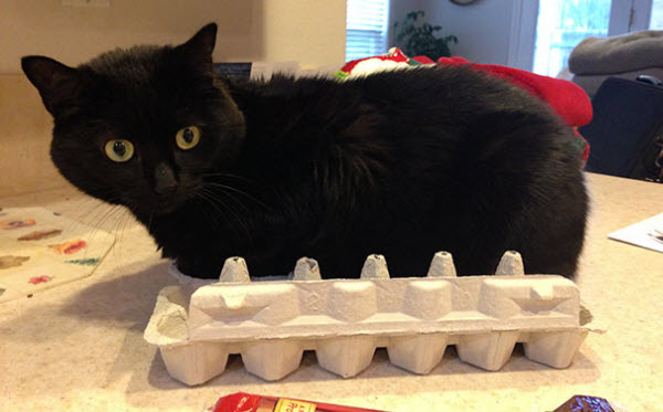 cat in egg box
