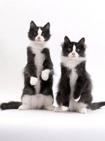 meercat tux