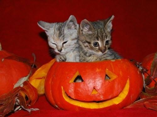 2 kittens pumpkin