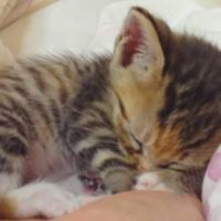 Itty Bitty Kittens Sleeping in Hands