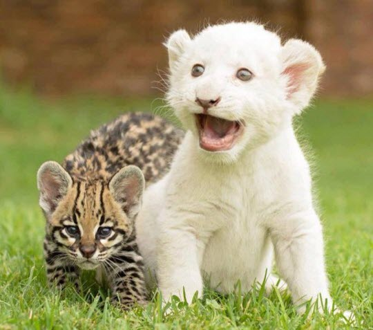 big cat cute 1