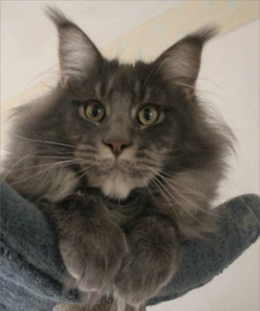 big grey cat