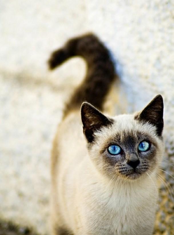 blue eyed siamese cat