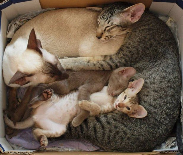 Abyssinian Family