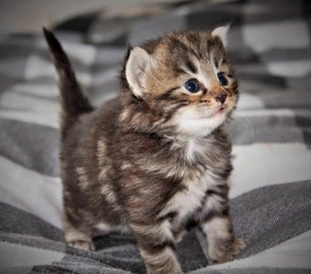 Norweigan kitten