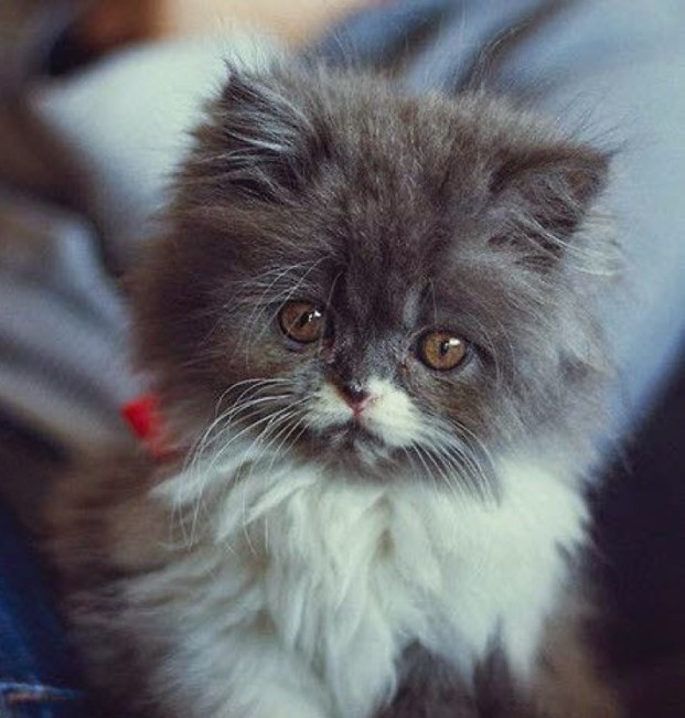 fluffy kitten copy