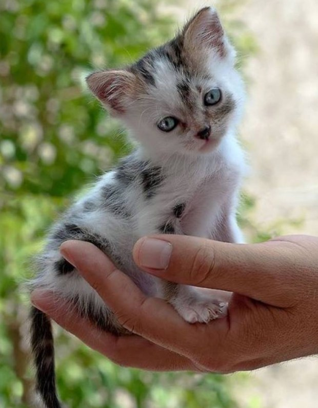 dalmatian cat