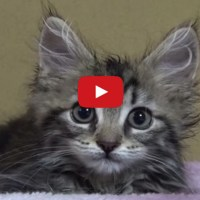 Osamu the Fluffy Kitten Plays With the Strange Bump on the Bed!