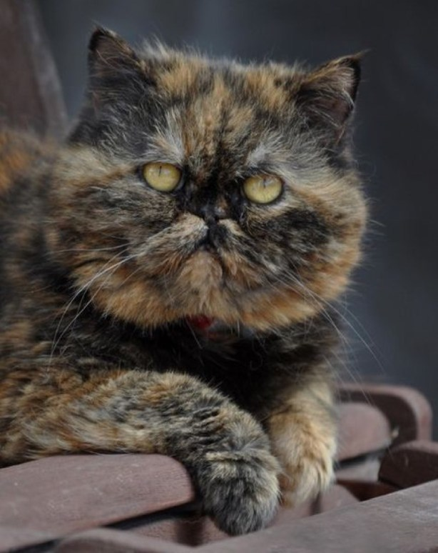 Exotic Shorthair:Persian