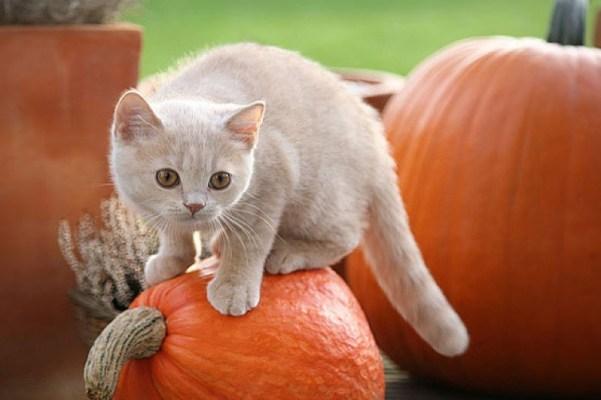 cat-climbing-pumpkin