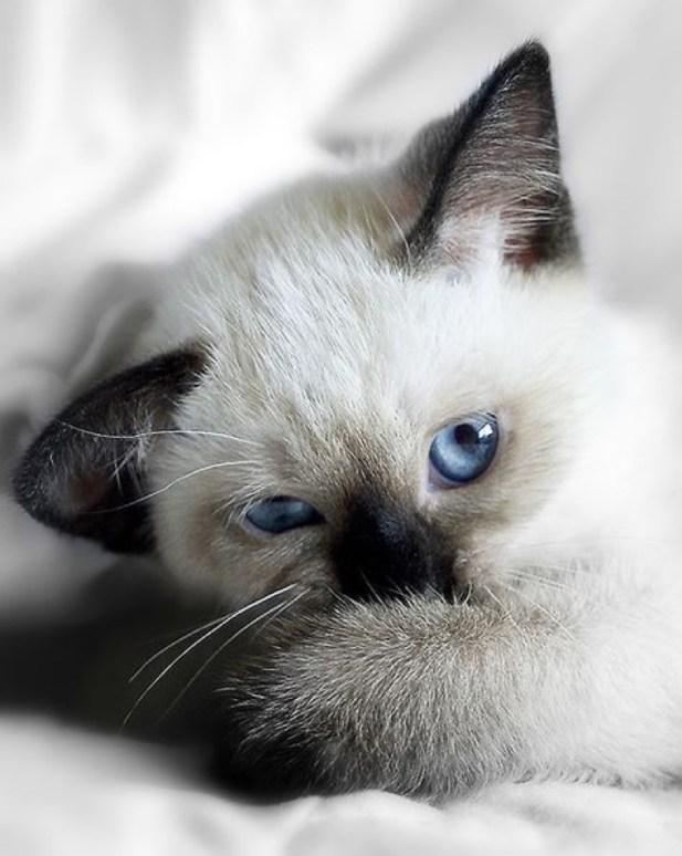 blue eye black ears