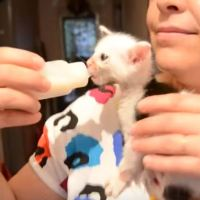 Cow Kitten Scrambles Up Her Foster Mama For Food