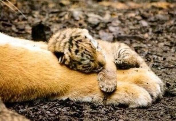 cub on foot