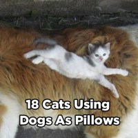 18 Great Pictures of Cats Using Dogs as Pillows