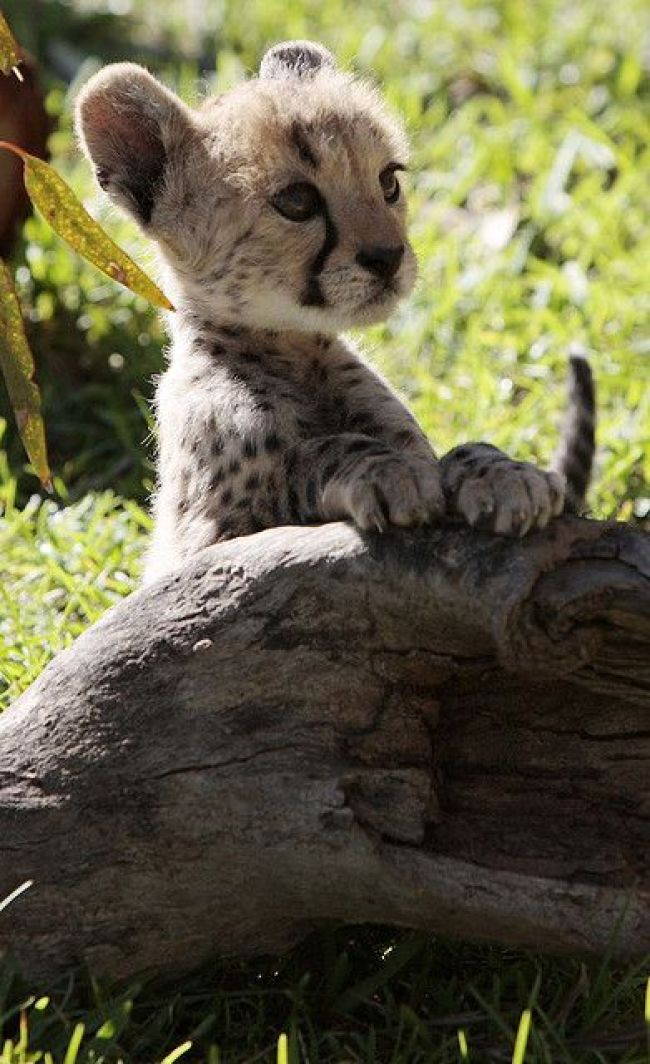 fuzzy baby cheetah
