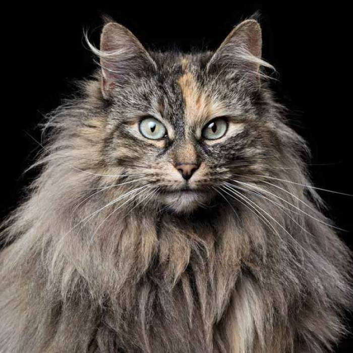 Norwegian-Forest-Cat