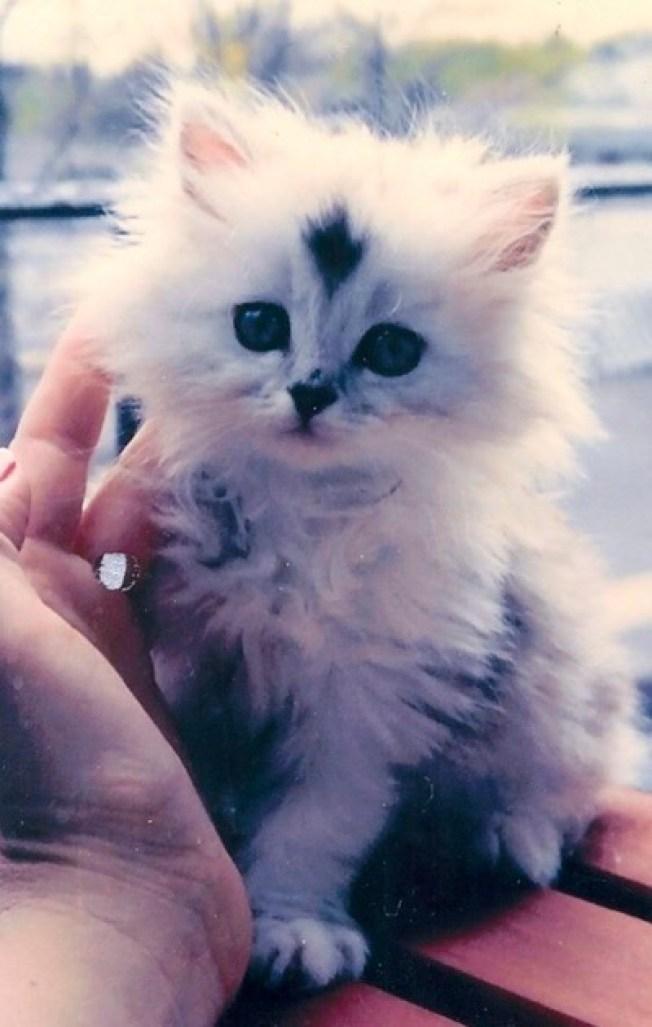 persian kitten copy 2