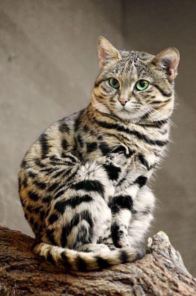smallest African wild cat