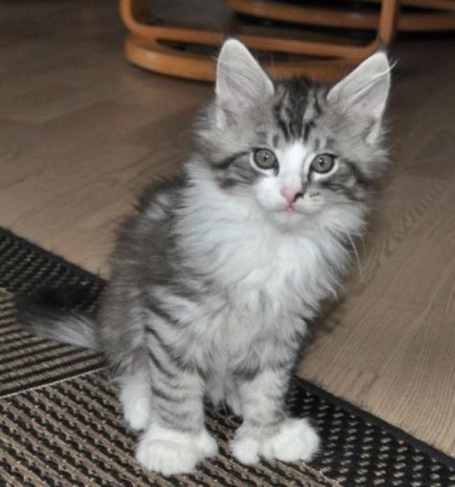 Maine Coon kitten is polydactyl
