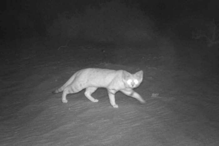 The latest picture of a sand cat from the Environment Agency - Abu Dhabi