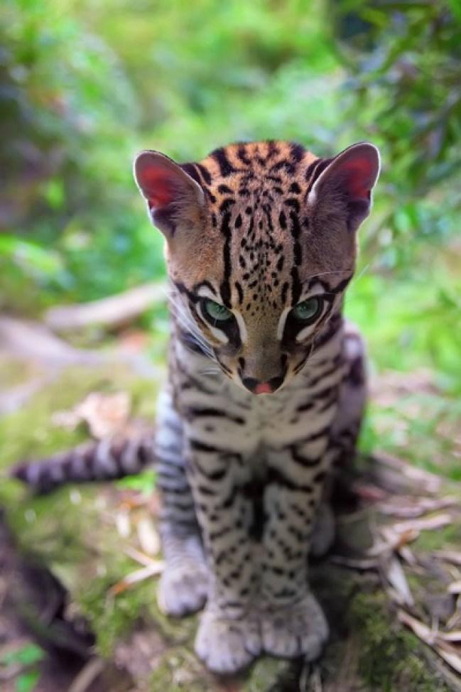 ocelot-waiting-by-filippo-leopardi