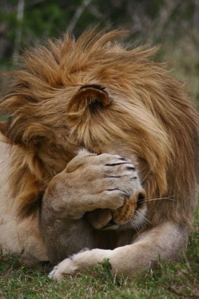 doh-lion