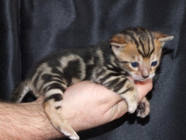 bengal in hand