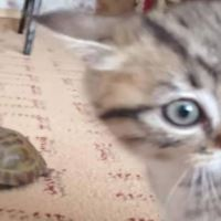 Kitten Has No Idea What To Make Of This Tortoise