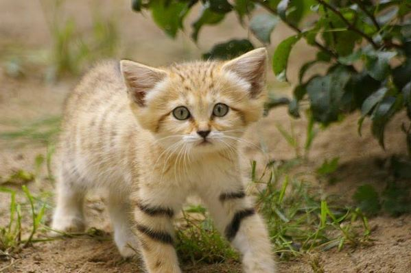 This is a desert sand kitten