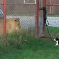 Tiny Cat Challenges Big Lion Because She's a Brave Kitty