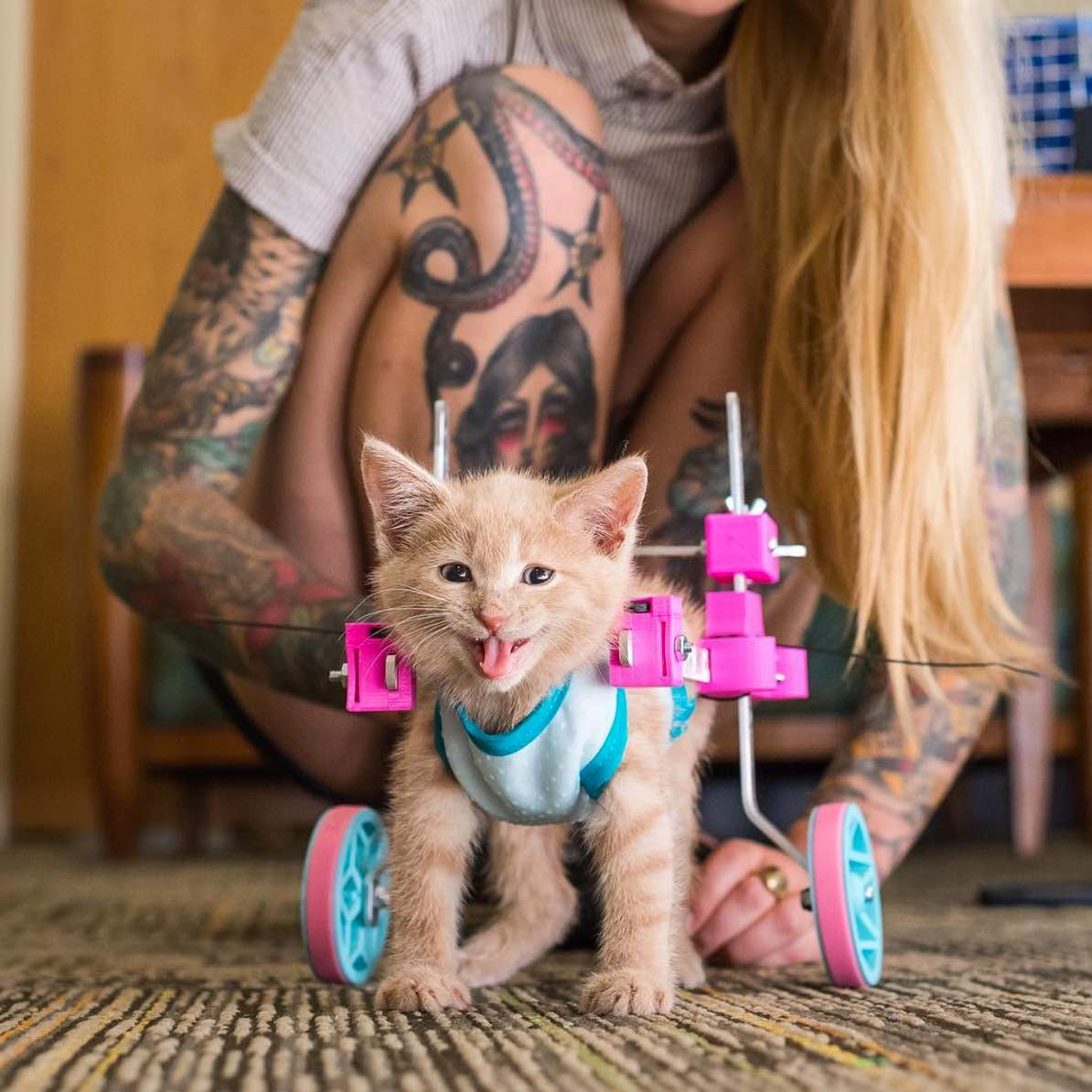 wheelchair for cats folding kitchen table and chairs paralyzed kitten gets acupuncture treatment the