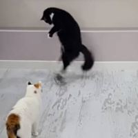 The Funniest Cat Walk Hop