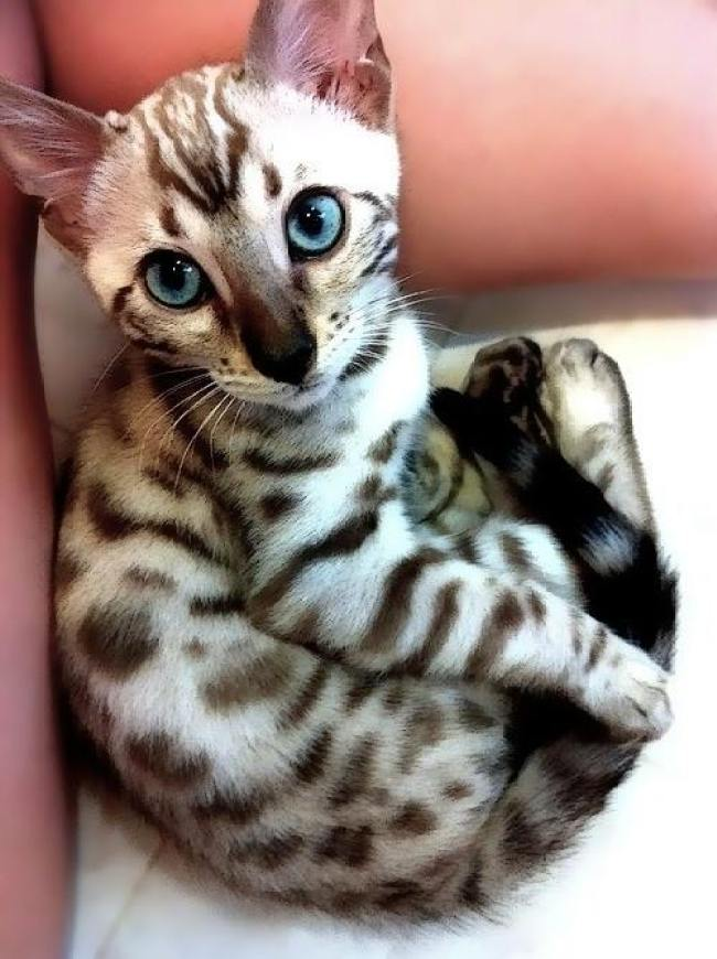 What lovely eyes on this Bengal kitten