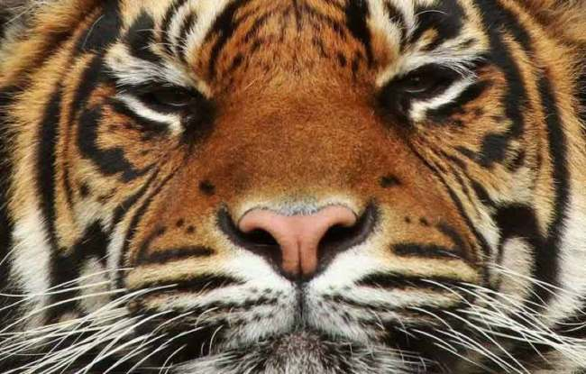 beautiful-tiger